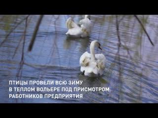 Лебеди в Капотненском пруду у МНПЗ
