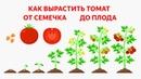 Как вырастить томат. Инструкция от А до Я. Посев томата, пикировка, высадка в грунт, формирование.