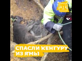 Несчастный кенгуру провалился в глубокую яму