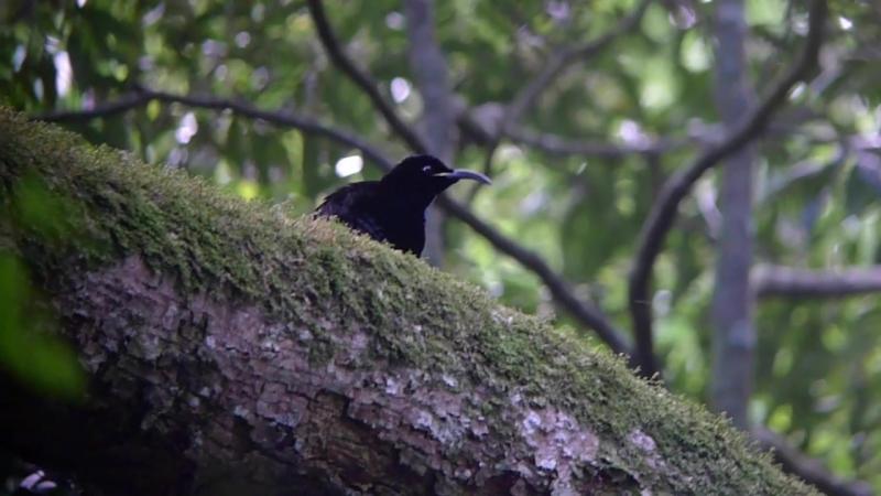 Paradise riflebird / Щитоносная райская птица / Ptiloris paradiseus
