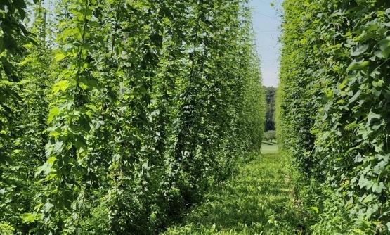 Хмель, который сочетается с пивными дрожжами и солодовым ячменем для изготовления пива.