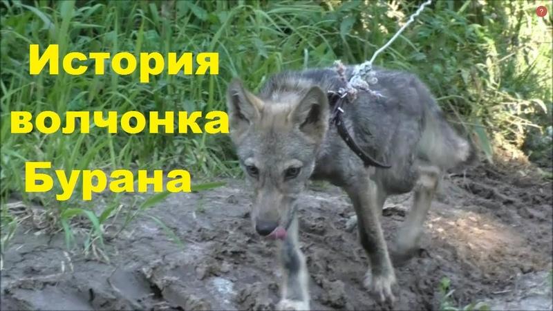 Волчонок Буран из хутора Седого