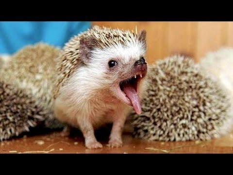 Самые Милые Смешные Ежики Веселая Подборка The Most Cute Funny Hedgehogs Cheerful Selection