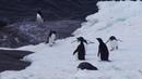 Из жизни пингвинов Адели. / Антарктида / Мирный / 02 2019