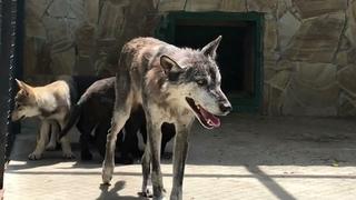 Канадская волчица Ева играет с малышами) Canadian she-wolf Eva plays with babies)