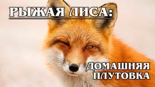 РЫЖАЯ ЛИСА: Рыжая плутовка и главная героиня русских сказок   Интересные факты про лисиц и животных
