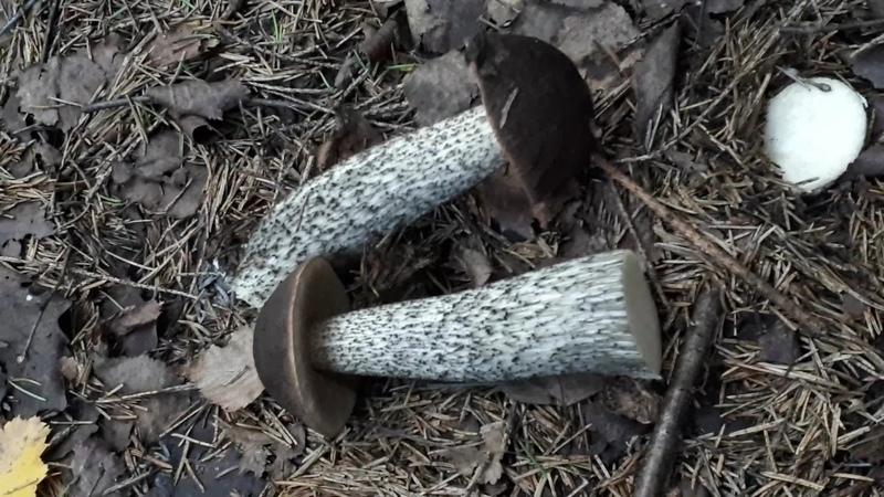 Черные подберезовики в хвойном лесу Черноголовик