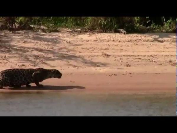 Flagra no Pantanal Onça pintada ataca e captura uma capivara gigante 2013