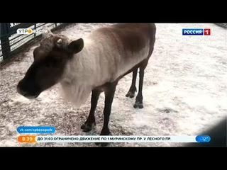 В Ленинградском зоопарке самки оленей сбрасывают рога