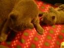 кнопа,хома и Мася(мои кошки)