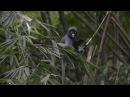 Dusky leaf monkey / Очковый тонкотел / Trachypithecus obscurus