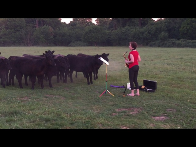 Woman plays saxophone to Cows at Sunrise Dawn