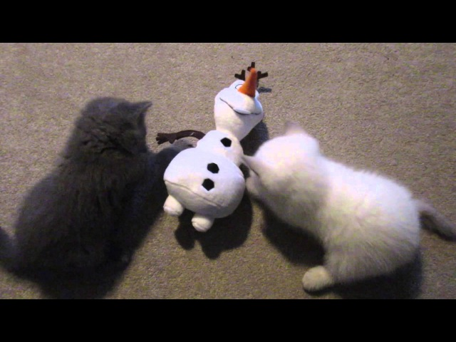 REALLY CUTE BRITISH SHORTHAIR KITTENS PLAYING! CHRIS EVE