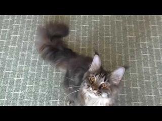 Кошка Мейн Кун Galla SolarSong 17 октября 2014, черепаха чёрная мраморная.