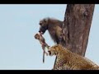 Khỉ con ngịch dại với báo đốm có kết cục  || tuyệt kỹ khinh công báo đốm  || leopard vs baboon