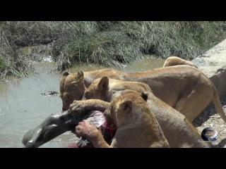 Мир Приключений - Львы едят еще живую зебру. Серенгети. Танзания. Lions attack. Serengeti. Tanz...