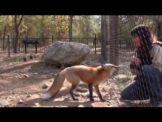 Вот как говорит лиса