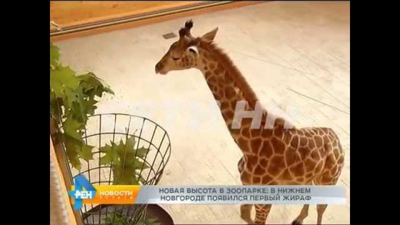 Новая высота первый в Нижнем Новгороде жираф появился в зоопраке
