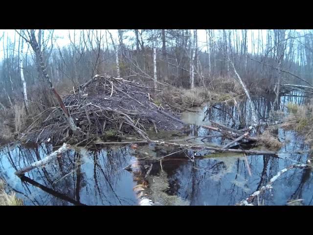 Бобровая хатка места обитания бобров beaver Lodge