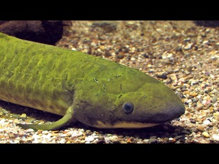Рогозуб/ Queensland lungfish (Neoceratodus forsteri)