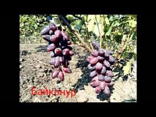 Самые перспективные сорта винограда