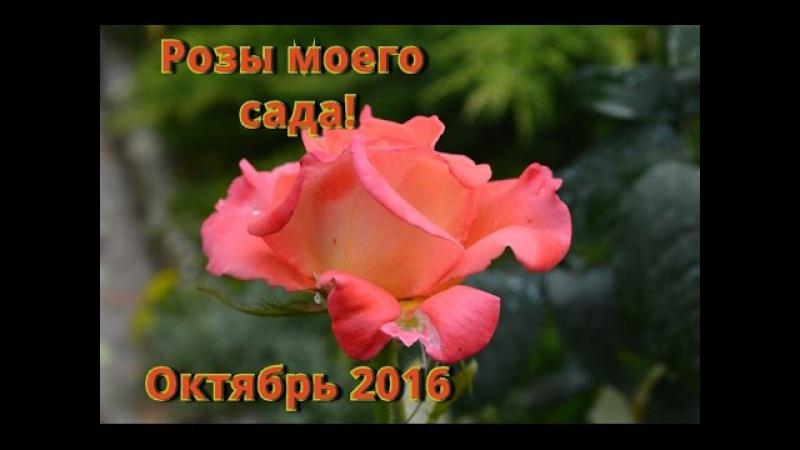 Розы мои красавицы Розы в октябре в нашем саду