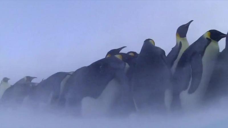 02 BBC Пингвины Шпион в стае Первые шаги