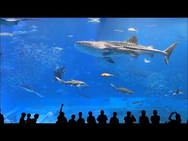 10 Hours of Okinawa Churaumi Aquarium (Water Prelude - Kevin MacLeod)