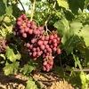 Продам саженцы винограда, ежевики, малины, клубн