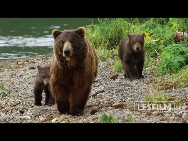 Trailer KAMCHATKA BEARS. LIFE BEGINS. Russia, 2018, 52 min