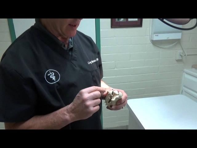 Собака трогает лапами пасть: палка застрявшая между зубов Dog Pawing at Mouth : Stick Stuck Between Teeth