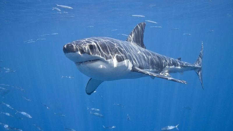 Картинка подводный мир Акула Белая акула хищник Zemūdens pasaule Haizivs balta haizivs