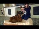 Щенки родезийского риджбека