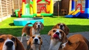 Bounce House Pool Party FOR DOGS! : Cute and Funny Beagles