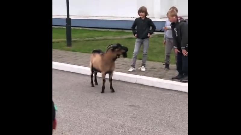 Забрел козел Томск