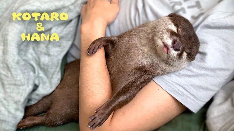 カワウソコタローとハナ 小鳥のように鳴いて腕の中で眠るハナ Otter Kotaro amp