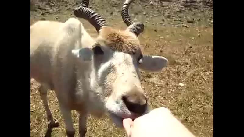 Kormim kozla Gornogo