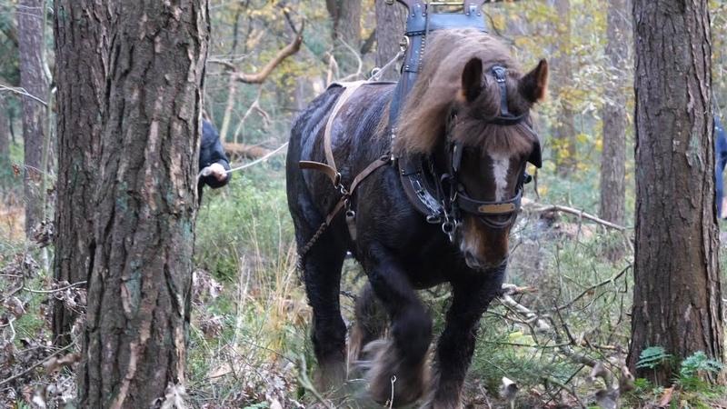 Draft horses for ecological forest management