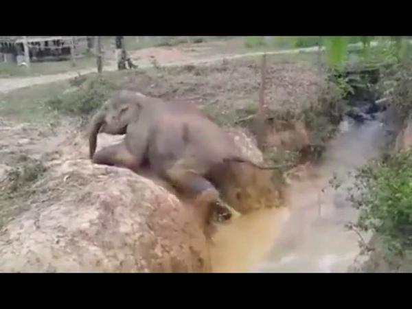 LINDO VIDEO!! MÃE ELEFANTE SALVA SEU FILHO!!..