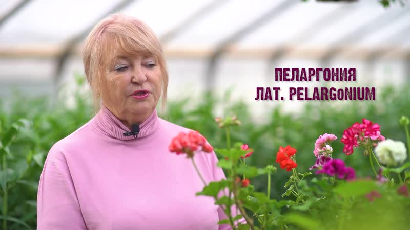 Рубрика Школа агронома / уход за пеларгонией