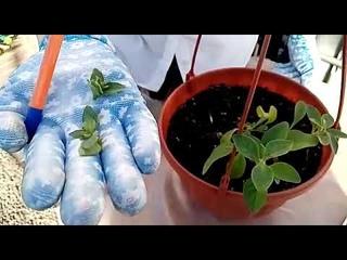 Высадка вегетативных растений, что дальше? Советы по уходу.