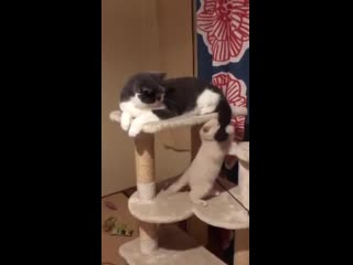 You dont need cat toys when you can just play with your buddys tail