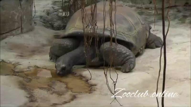 Альдабрская гигантская черепаха лат Aldabrachelys gigantea
