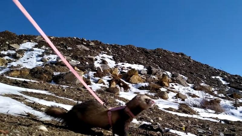 Хоря путешественник Ferret traveler Видео о прогулке домашнего хорька фретки зимой по снегу