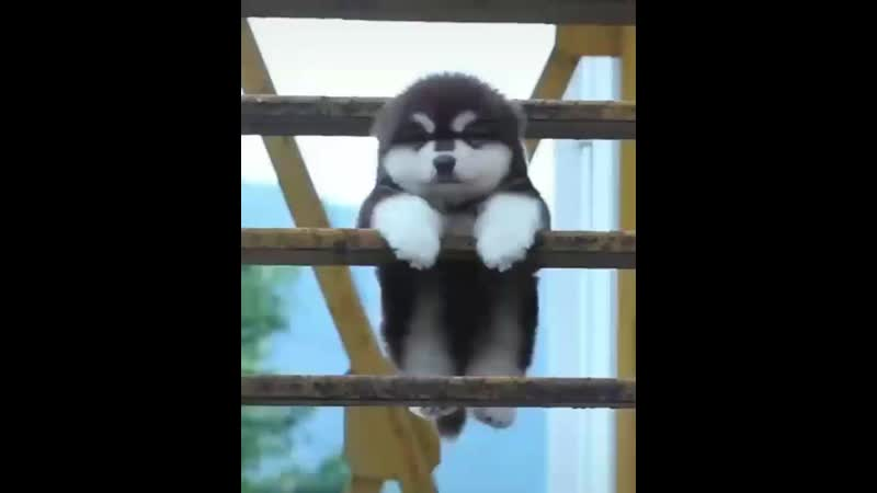 Huskies Corner® on Instagram_ _Just a little koala(MP4).mp4