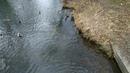 Дикие кряквы на реке Лоша