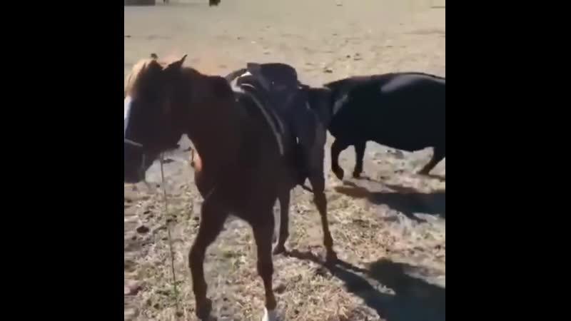 Лошадь защищает ветеринара, пока он осматривает теленка