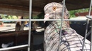 Уличная голубятня в Махачкале