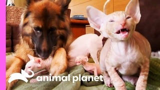 Five Cornish Rex Kittens Meet Some New Fluffy And Scaly Friends | Too Cute!