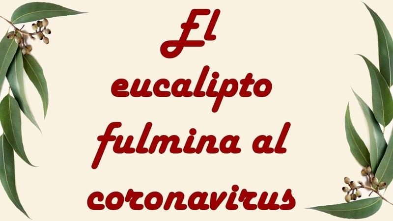 El eucalipto fulmina al coronavirus por Nely Helena Acosta Carrillo